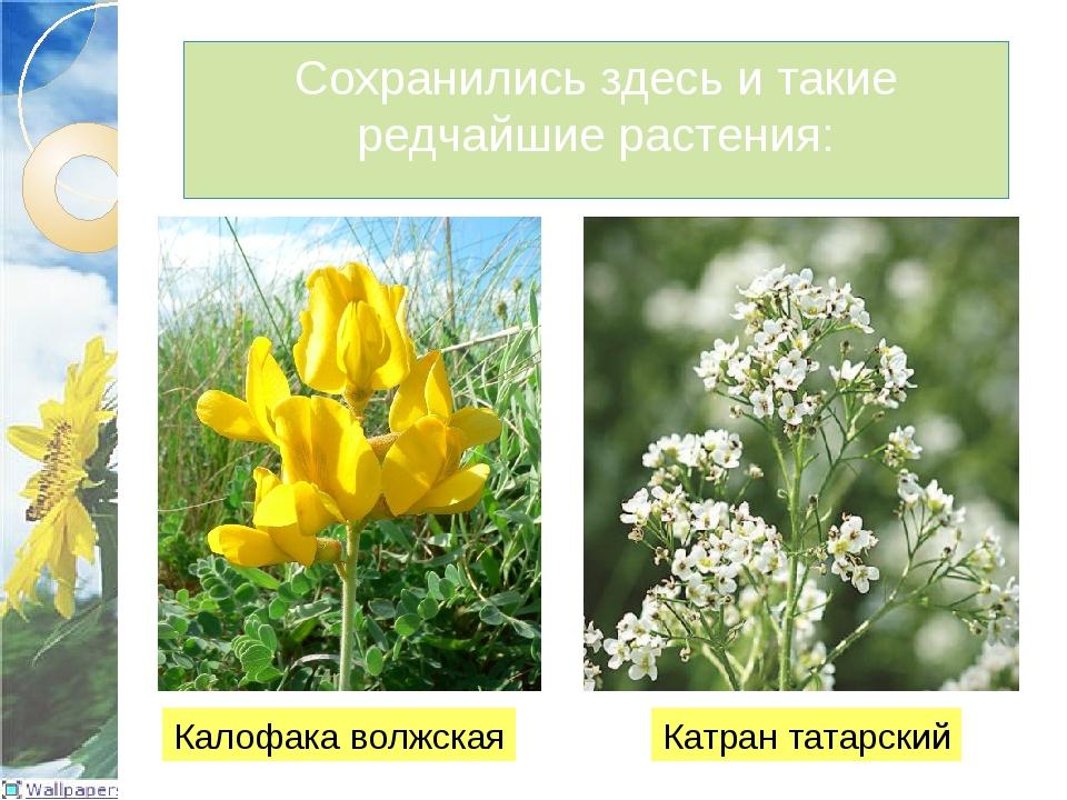 Сохранились здесь и такие редчайшие растения: Калофака волжская Катран татарс...
