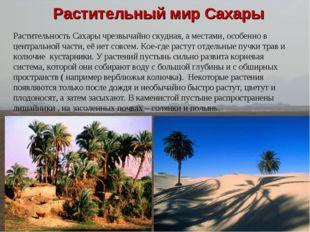 Растительный мир Сахары Растительность Сахары чрезвычайно скудная, а местами