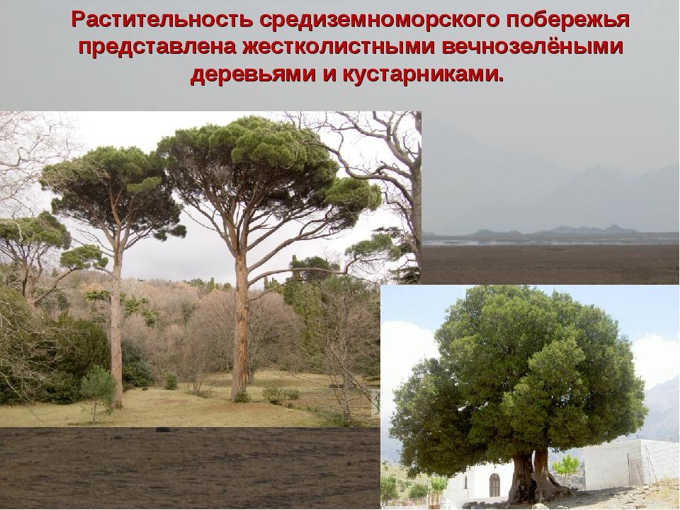 Растительность средиземноморского побережья представлена жестколистными вечно...