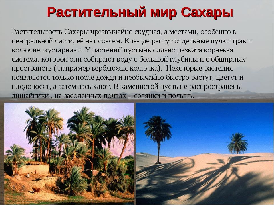 Растительный мир Сахары Растительность Сахары чрезвычайно скудная, а местами...