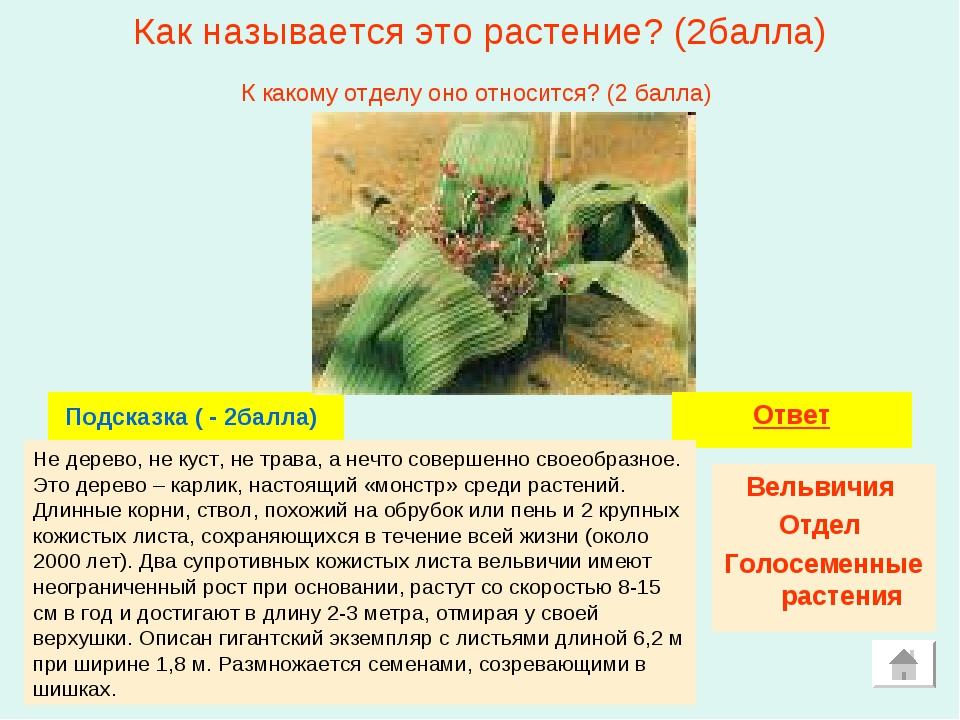 Как называется это растение? (2балла) Подсказка ( - 2балла) Ответ Вельвичия О...
