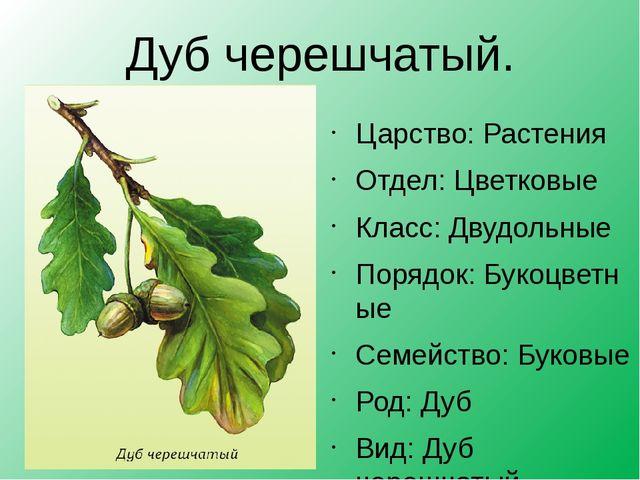 Дуб черешчатый. Царство:Растения Отдел:Цветковые Класс:Двудольные Порядок:...