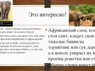 Это интересно! Слон – самое крупное млекопитающее, которое живет на планете З