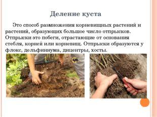 Деление куста Это способ размножения корневищных растений и растений, образую