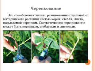 Черенкование Это способ вегетативного размножения отдельной от материнского р