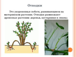 Отводки Это укорененные побеги, развивающиеся на материнском растении. Отводк