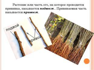 Растение или часть его, на которое проводится прививка, называется подвоем..