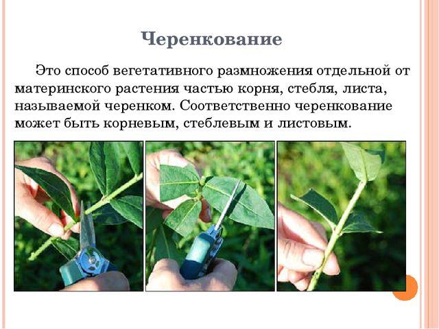 Черенкование Это способ вегетативного размножения отдельной от материнского р...
