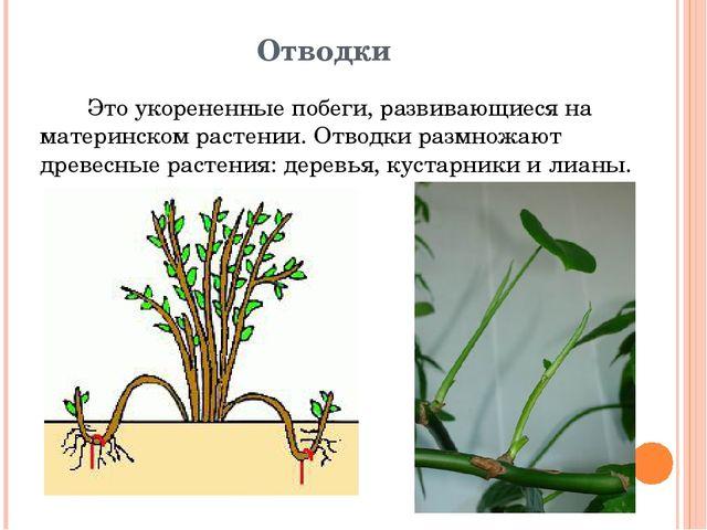 Отводки Это укорененные побеги, развивающиеся на материнском растении. Отводк...