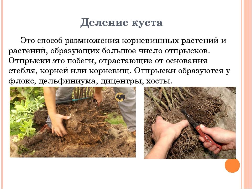 Деление куста Это способ размножения корневищных растений и растений, образую...