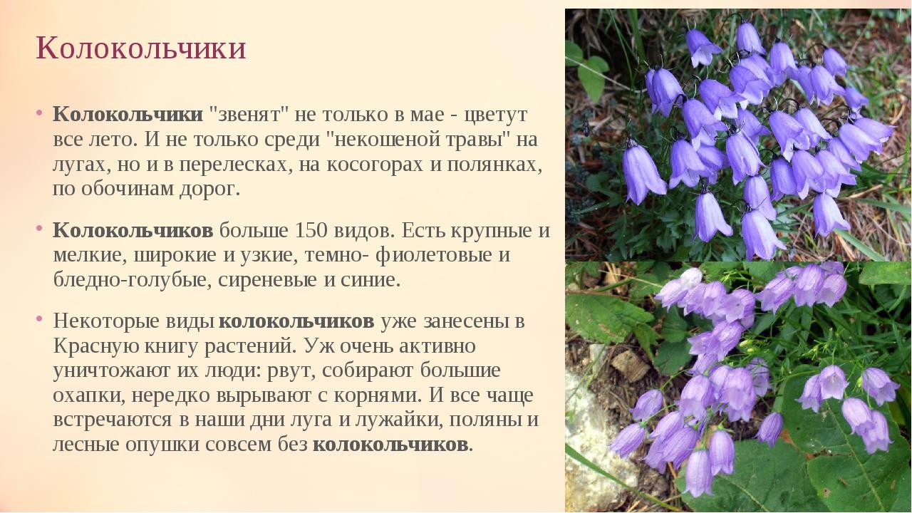 колокольчик фото цветы описание рады предложить большой