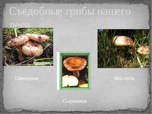 Съедобные грибы нашего леса Свинушки Сыроежки Маслята