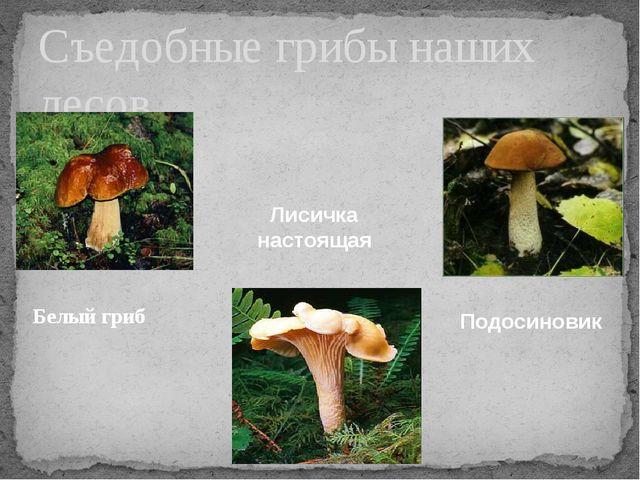 Белый гриб Съедобные грибы наших лесов Лисичка настоящая Подосиновик