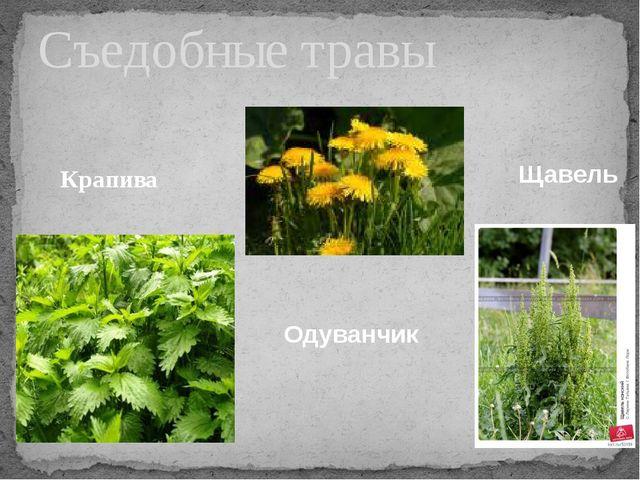 Крапива Съедобные травы Одуванчик Щавель