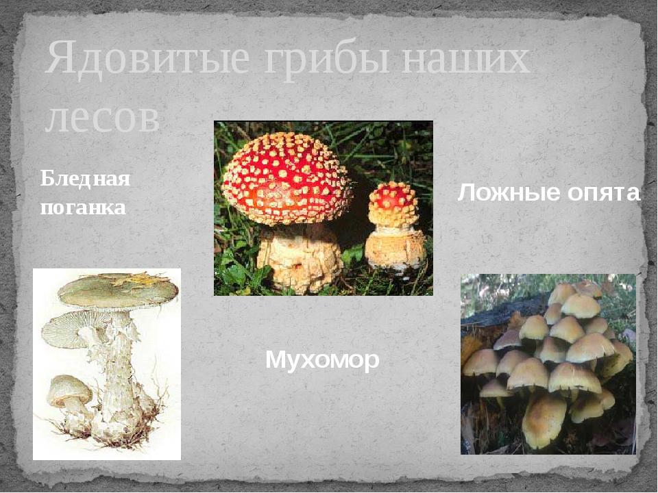 Бледная поганка Ядовитые грибы наших лесов Мухомор Ложные опята