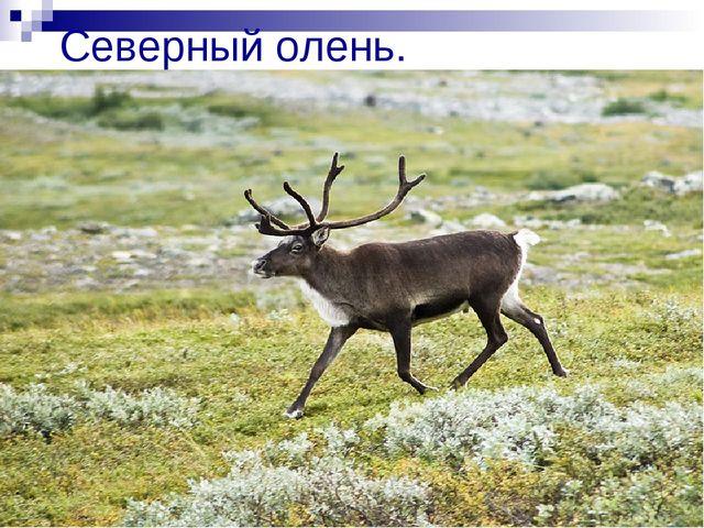 Северный олень.