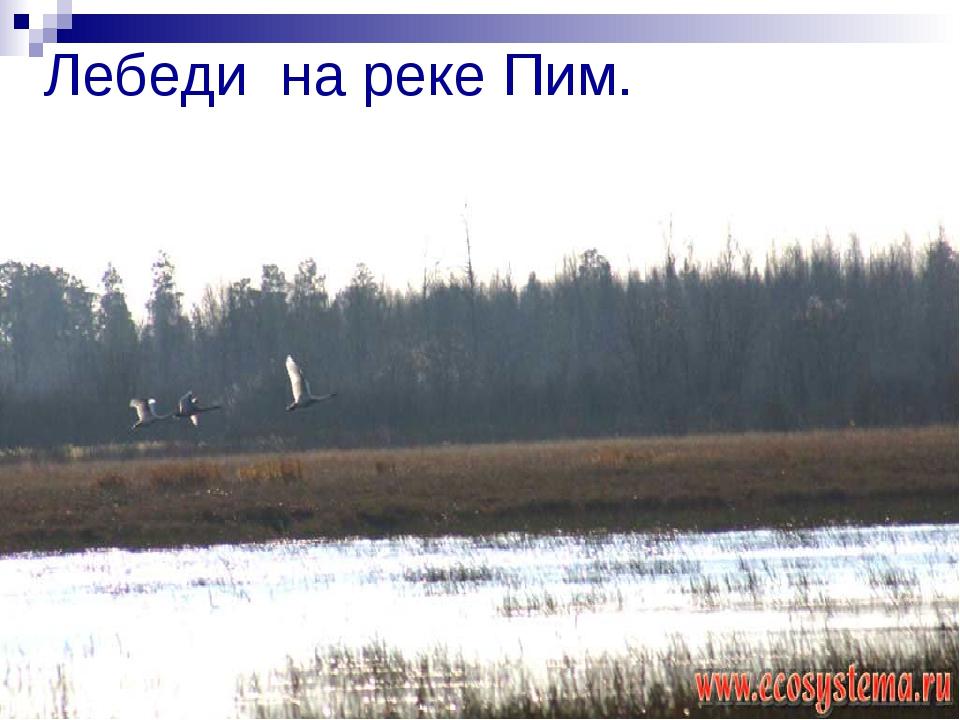 Лебеди на реке Пим.
