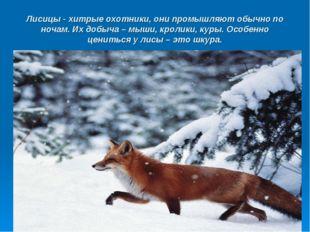Лисицы - хитрые охотники, они промышляют обычно по ночам. Их добыча – мыши, к
