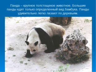 Панда – крупное толстощекое животное. Большие панды едят только определенный