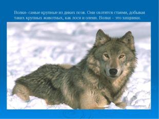 Волки- самые крупные из диких псов. Они охотятся стаями, добывая таких крупны