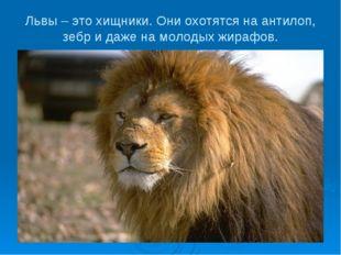 Львы – это хищники. Они охотятся на антилоп, зебр и даже на молодых жирафов.