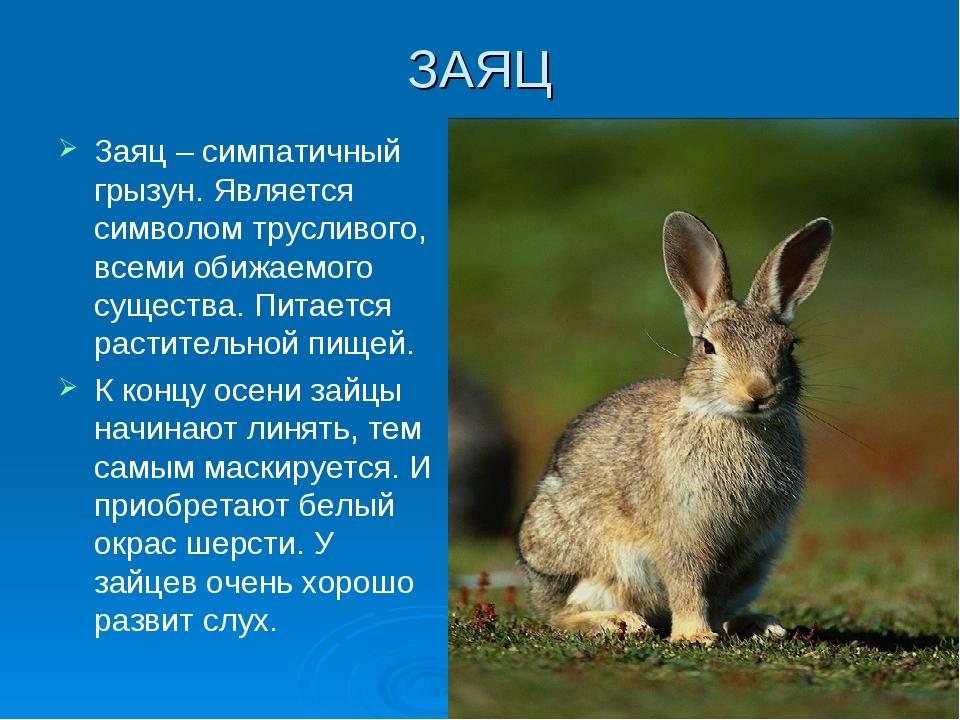 ЗАЯЦ Заяц – симпатичный грызун. Является символом трусливого, всеми обижаемог...