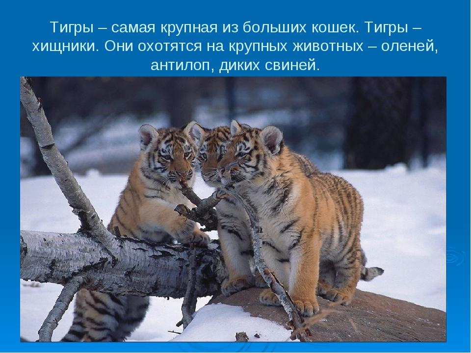 Тигры – самая крупная из больших кошек. Тигры – хищники. Они охотятся на круп...
