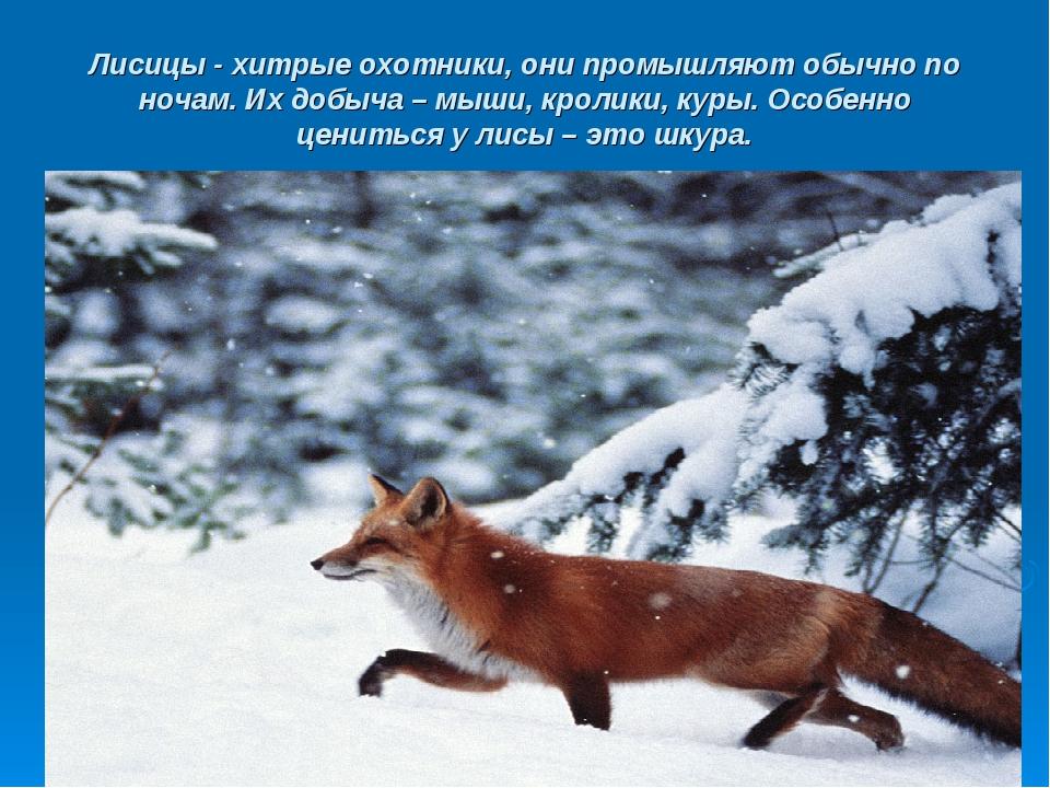 Лисицы - хитрые охотники, они промышляют обычно по ночам. Их добыча – мыши, к...