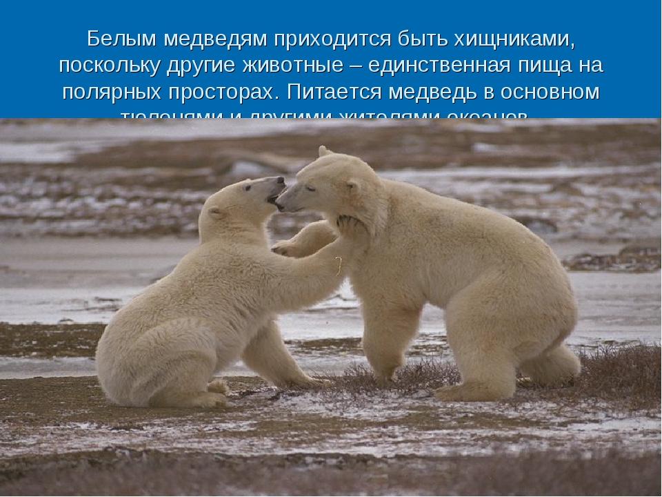 Белым медведям приходится быть хищниками, поскольку другие животные – единств...