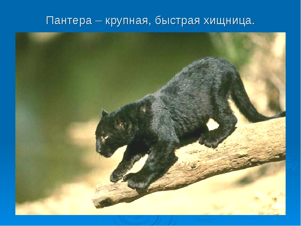 Пантера – крупная, быстрая хищница.