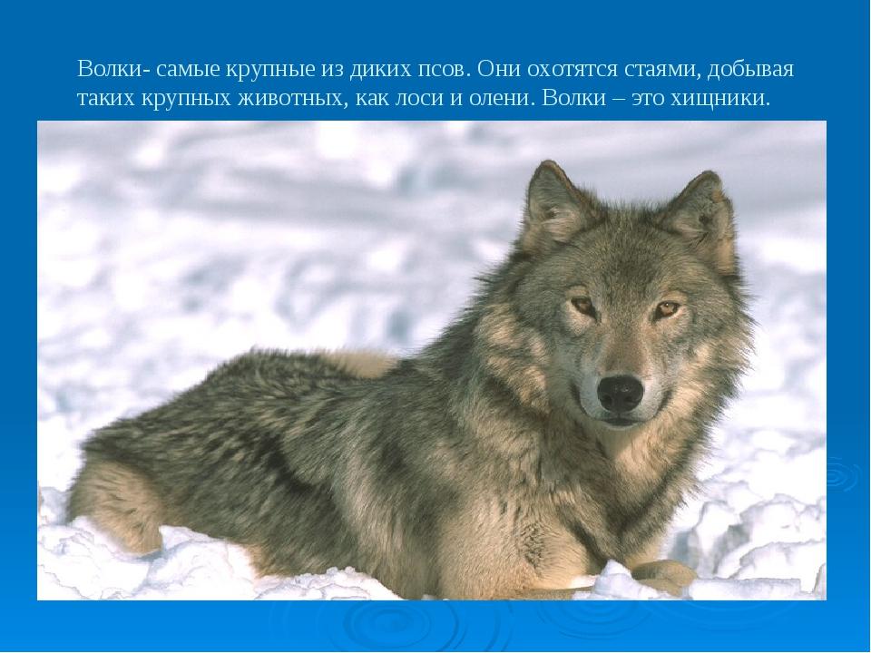Волки- самые крупные из диких псов. Они охотятся стаями, добывая таких крупны...