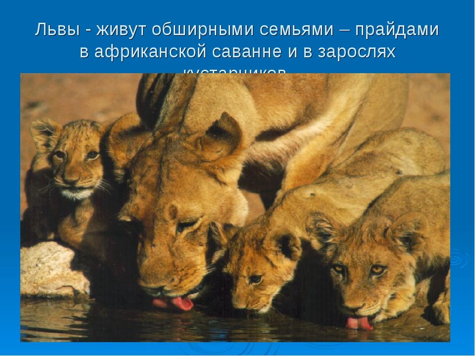 Львы - живут обширными семьями – прайдами в африканской саванне и в зарослях...