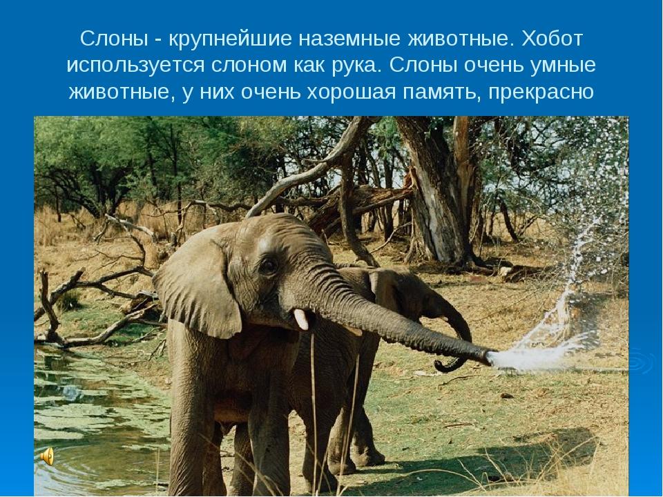 Слоны - крупнейшие наземные животные. Хобот используется слоном как рука. Сло...