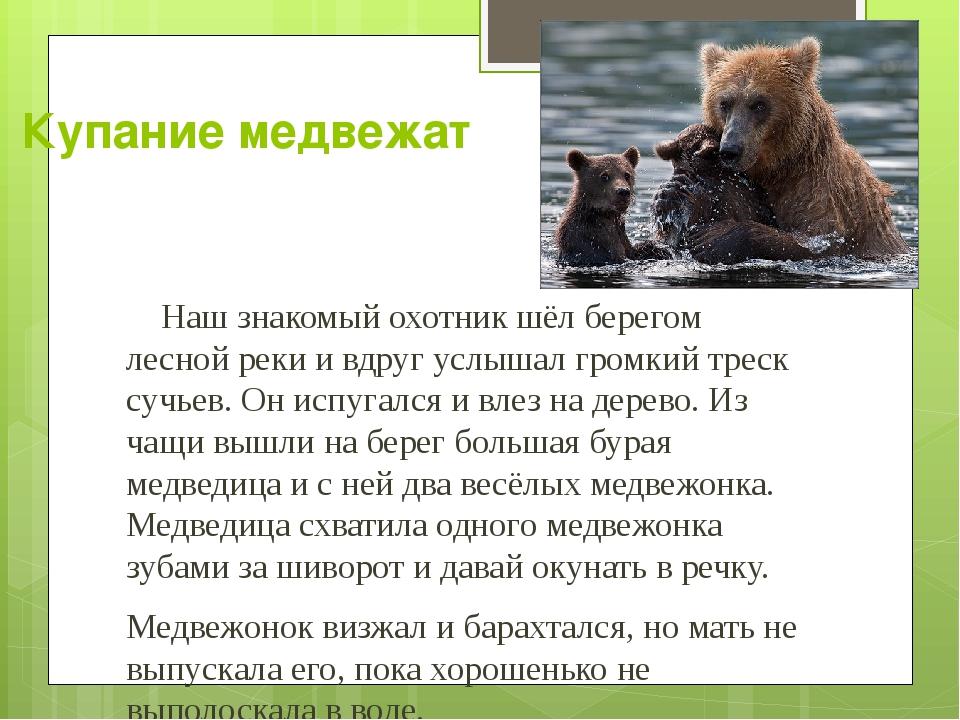 Купание медвежат Наш знакомый охотник шёл берегом лесной реки и вдруг услышал...