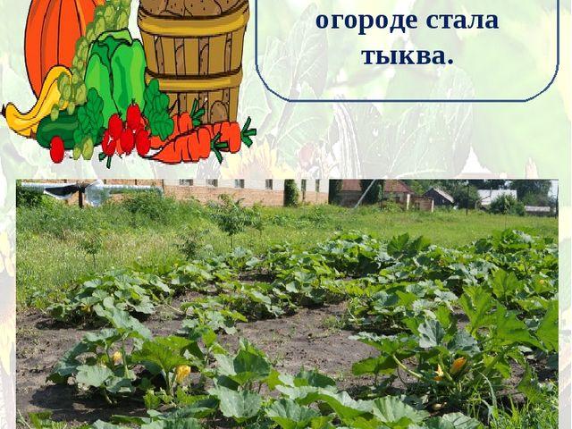 Главной культурой на нашем школьном огороде стала тыква.