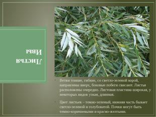 Листья Ивы Ветви тонкие, гибкие, со светло-зеленой корой, направлены вверх, б