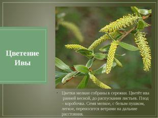 Цветение Ивы Цветки мелкие собраны в сережки. Цветёт ива ранней весной, до ра
