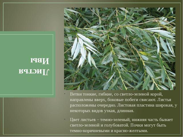 Листья Ивы Ветви тонкие, гибкие, со светло-зеленой корой, направлены вверх, б...