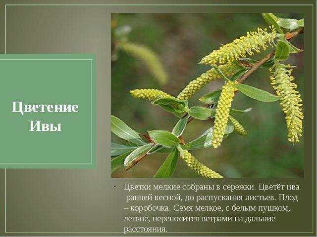 Цветение Ивы Цветки мелкие собраны в сережки. Цветёт ива ранней весной, до ра...