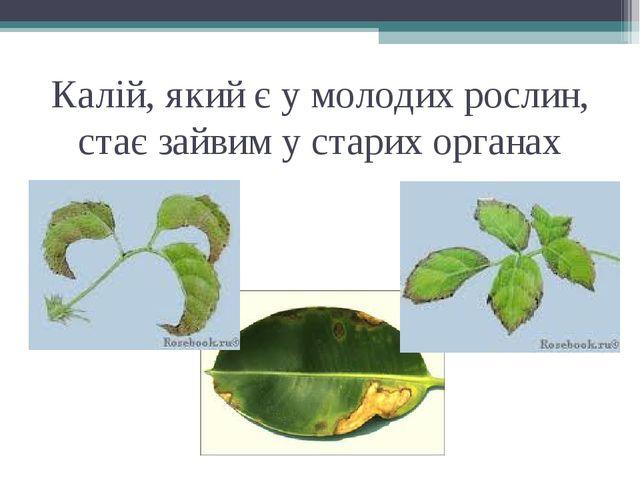 Калій, який є у молодих рослин, стає зайвим у старих органах