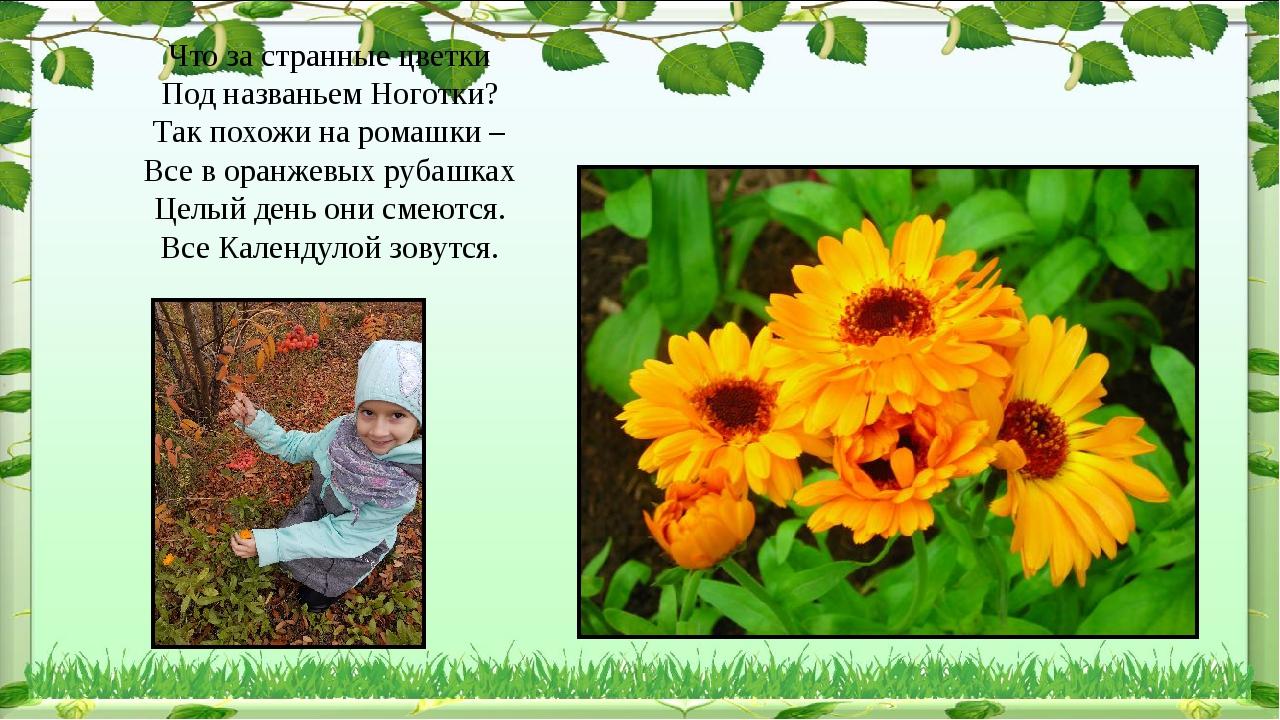 Что за странные цветки Под названьем Ноготки? Так похожи на ромашки – Все в о...