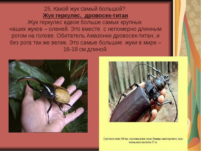 25. Какой жук самый большой? Жук геркулес, дровосек-титан Жук геркулес вдвое...