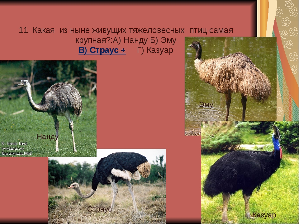 11. Какая из ныне живущих тяжеловесных птиц самая крупная?:А) Нанду Б) Эму В...