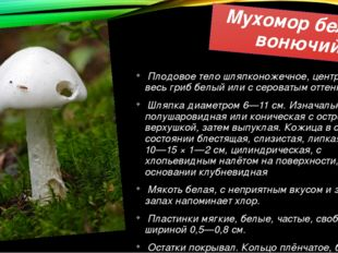 Мухомор белый вонючий Плодовое тело шляпконожечное, центральное, весь гриб бе