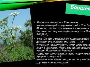 Борщевик Растение семействаЗонтичные, насчитывающий, по данным сайтаThe Pla