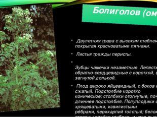 Болиголов (омег) Двулетняя трава с высокимстеблем, покрытая красноватыми пят