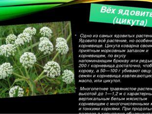 Вёх ядовитый (цикута) Одно из самых ядовитых растений. Ядовито всё растение,