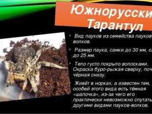Южнорусский Тарантул Вид пауков из семейства пауков-волков. Размер паука, сам
