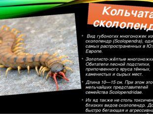 Кольчатая сколопендра Вид губоногих многоножек из рода сколопендр (Scolopendr
