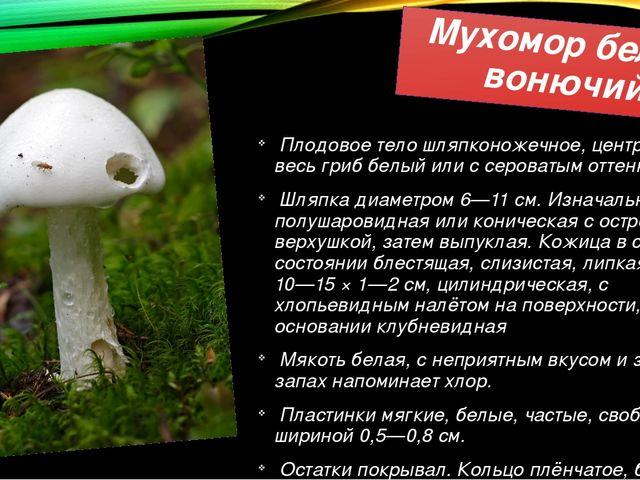 Мухомор белый вонючий Плодовое тело шляпконожечное, центральное, весь гриб бе...